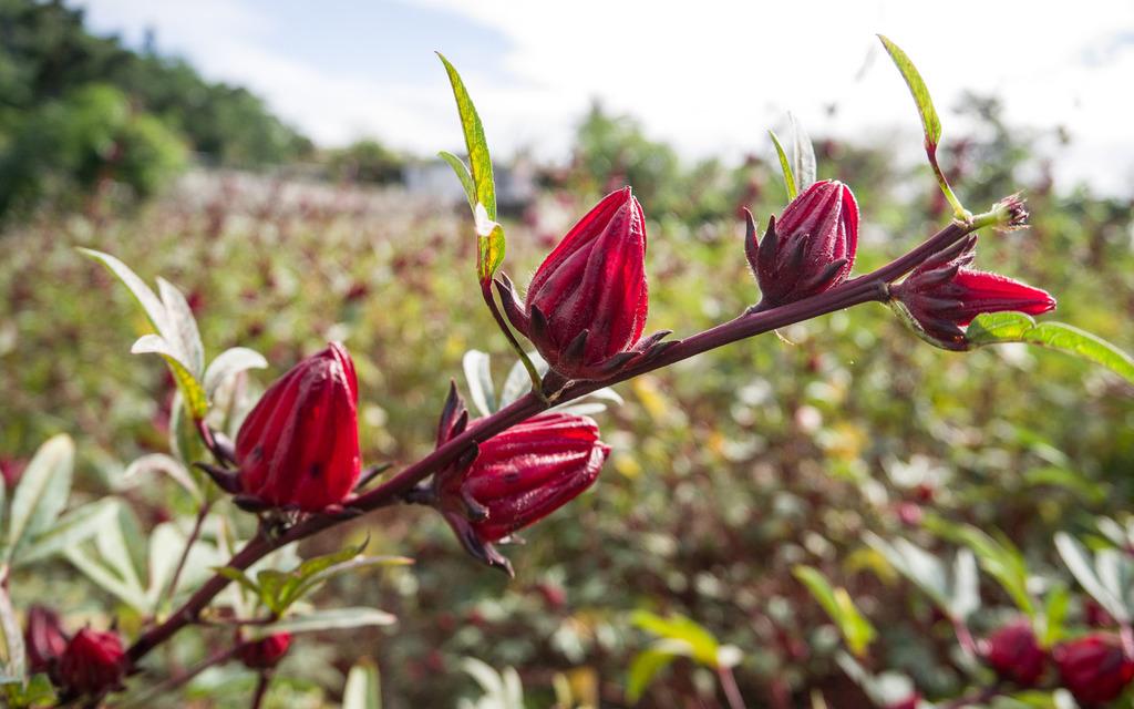 L'hibiscus, la fleur aux multiples bienfaits à intégrer dans vos cosmétiques